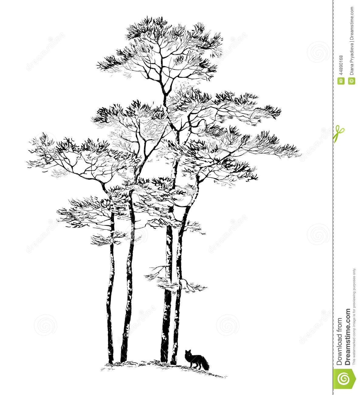 Ponderosa Pine Tree Drawing