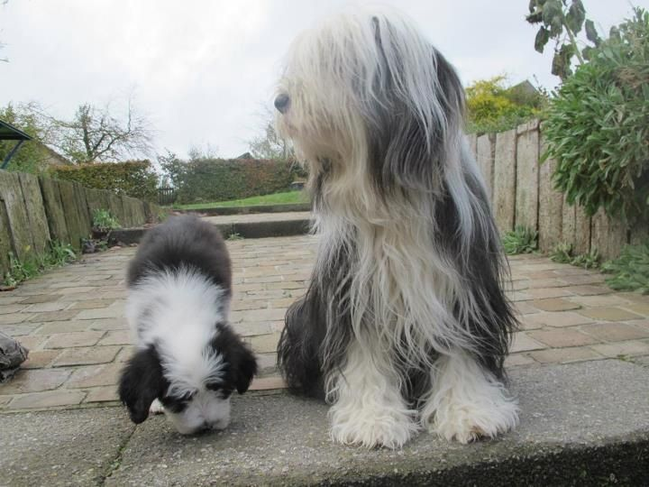 Pin Em I Love My Bearded Collie