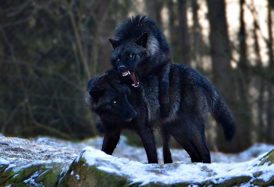 Черные волки картинки фото