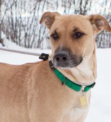 Shepherd/boxer mix dog at Rescue Village in Russell is