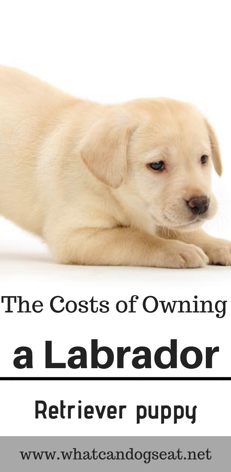 America S Most Popular Dog Breed The Labrador Retriever Is Friendly A Loving And High Energy Creature Labrador Labrador Retriever Labrador Retriever Puppies
