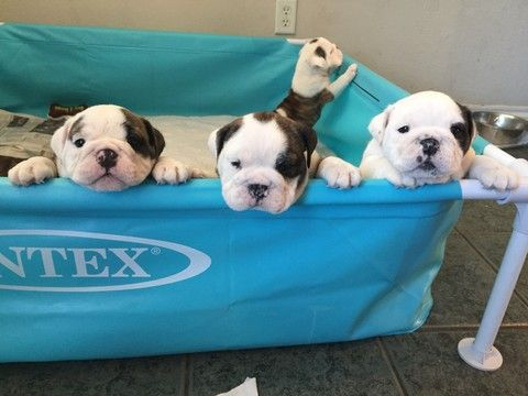 Litter Of 5 Bulldog Puppies For Sale In Arlington Tx Adn 35744