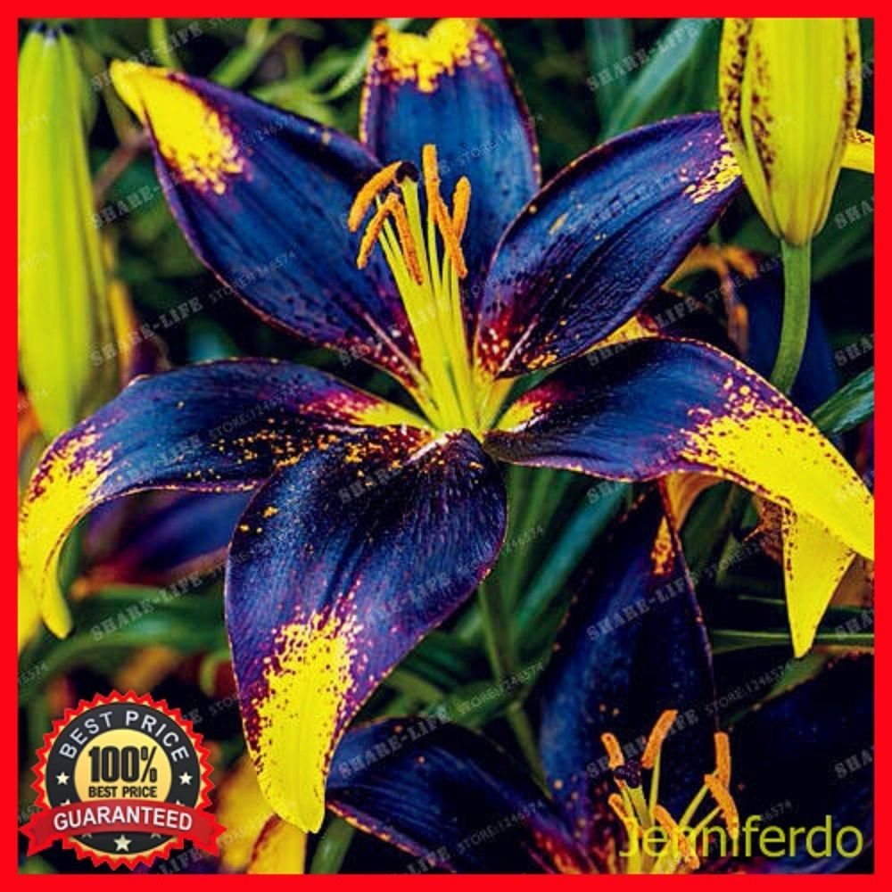 Blue yellow lily flower bulbs not lily seeds 6 bulbs rare blue yellow lily flower bulbs not lily seeds 6 bulbs izmirmasajfo