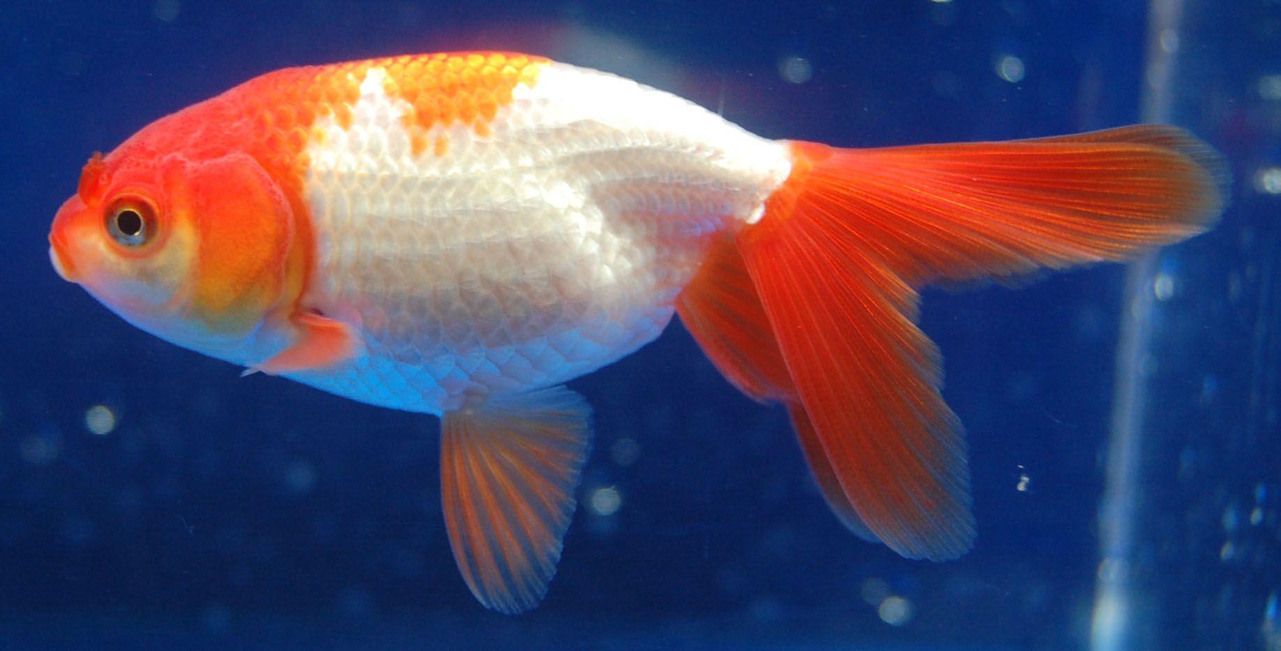 Snakehead fish eating goldfish for Fish eat fish