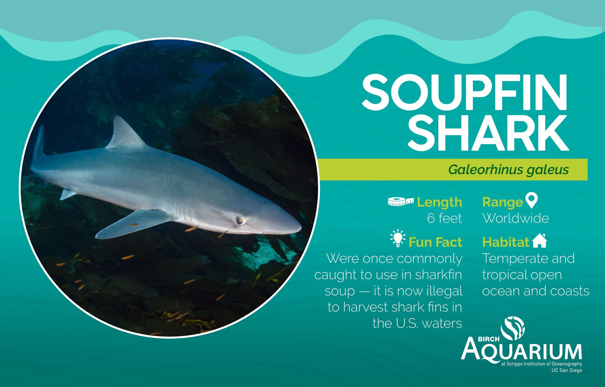 It S Sharkweek A Few Fun Facts About The Soupfin Shark