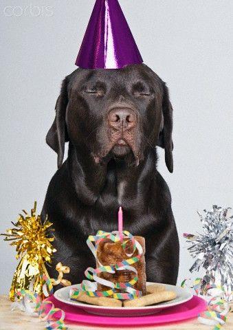 Happy Birthday Chocolat Labrador Happy Birthday Labrador Labrador Puppies For Sale Labrador
