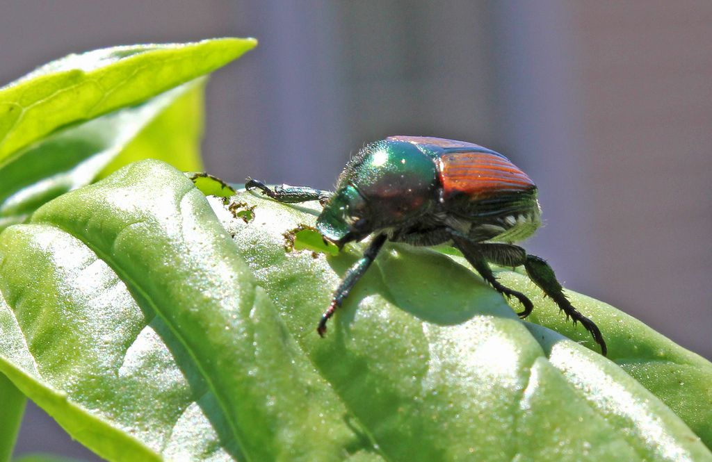 fab3c01404877975e9d208555417dfa5 - How To Get Rid Of Japanese Beetles On Basil Plants