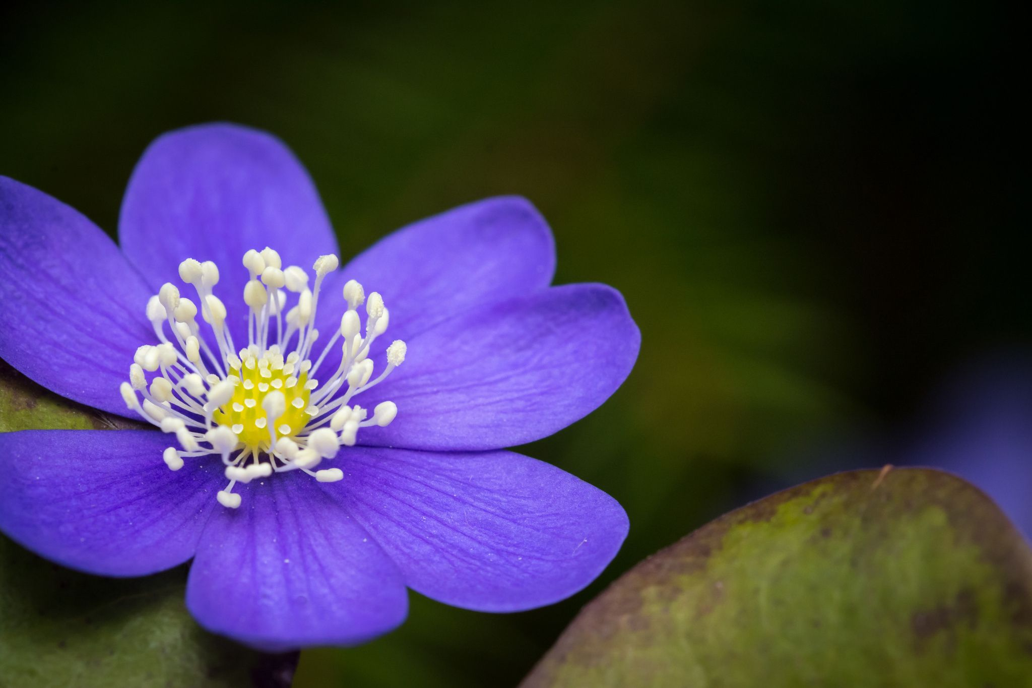 Spring time - Close up of Hepatica Nobilis