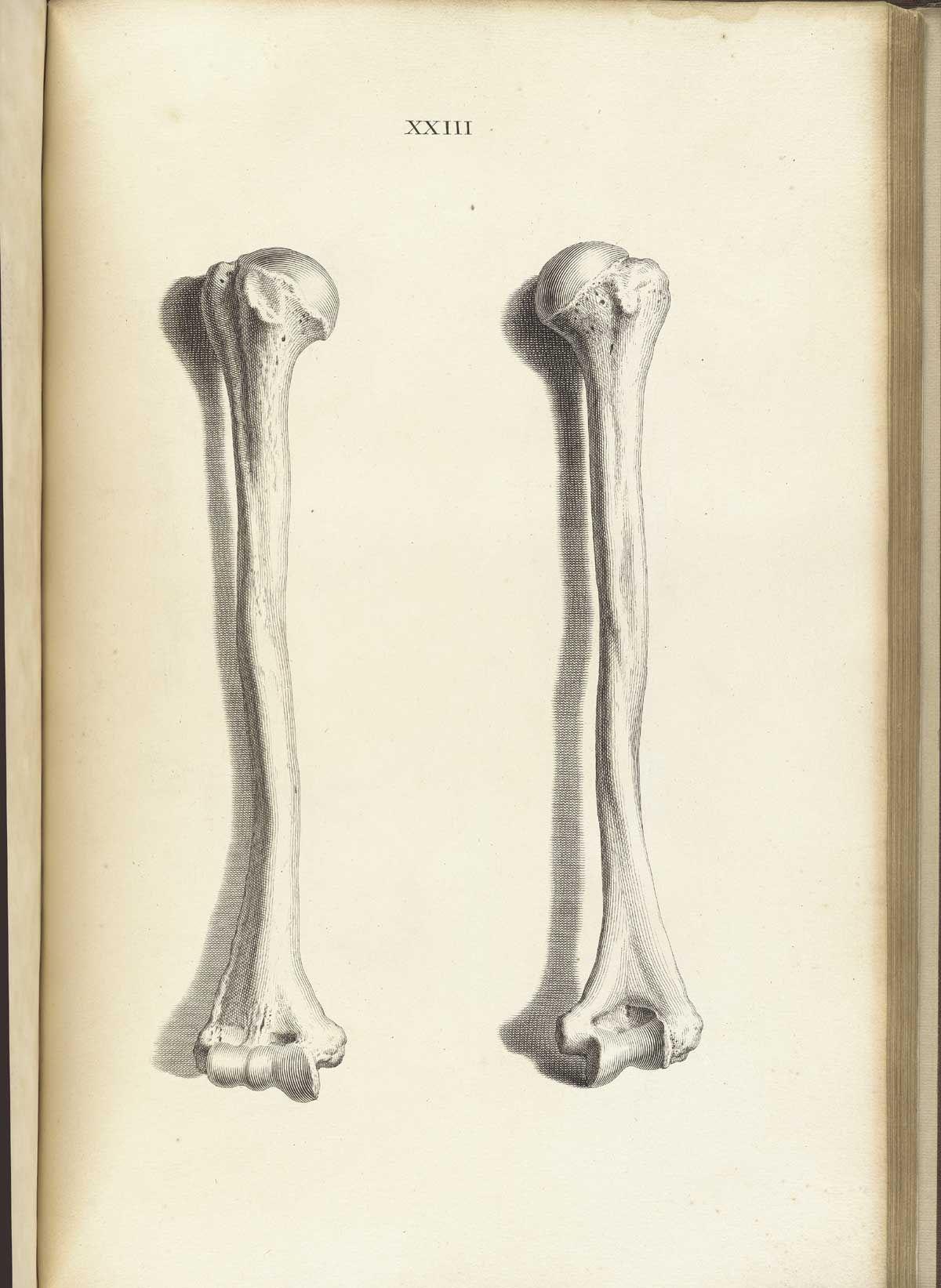 Humerus bone, from William Cheselden\'s Osteographia, NLM Call no ...