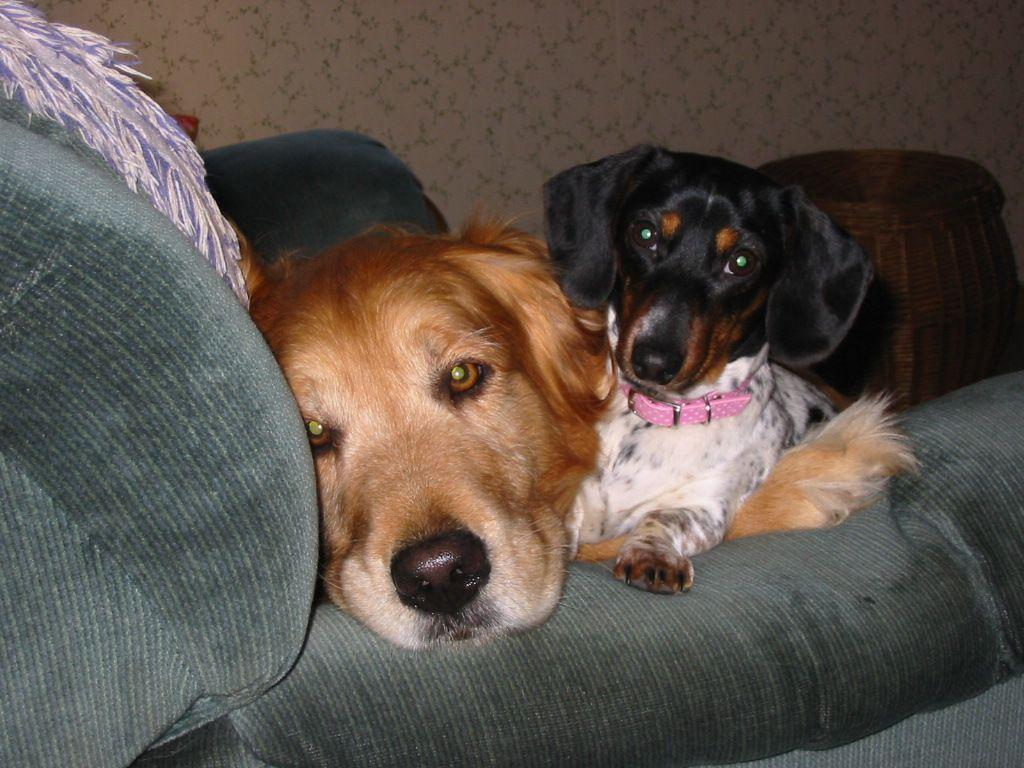 Belle the blacktan piebald dachshund with her best friend