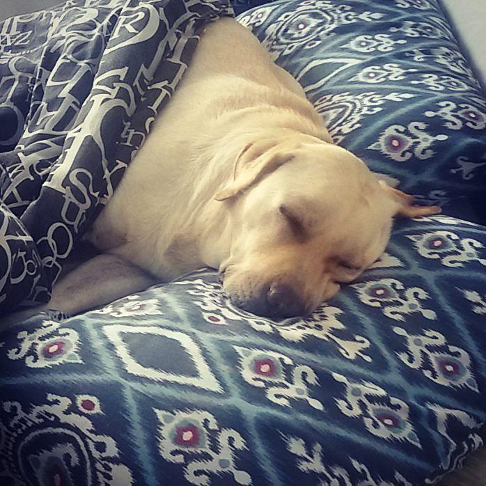 Segunda-feira bate uma preguiça. . Uma vontade de ficar mimindo até o meio dia. .  #Harry #Labrador #Retriever #filhotes #cachorro #dog #Instadog #instaharry #instapet #dogslovers #puppy #pup #doggie #pet #lab #yellowlab #golden #talesofalab #babydog #loveanimals #labragram #laboftheday #worldoflabs #photo #instagram #Monday #segunda #sleep #dormir #cute by labradorrharry