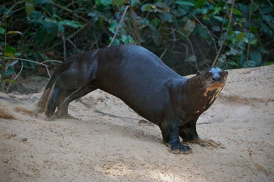 The Giant River Otter Can Get Up To 1 7 Meters In Lengthhttps I