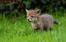 Fox-hunting is built on the deaths of fox cubs. - It is kept hidden by hunt supporters, who trot out vague references to it by way of saying it prepares the hounds for the hunting season. - Hunting with hounds is a cruelty-soaked activity. It dishes out death in a sadistic manner for enjoyment. ----- Hunt Saboteur Groups: http://animalrightsuk.org/beta/huntsaboteurgroups.html <3