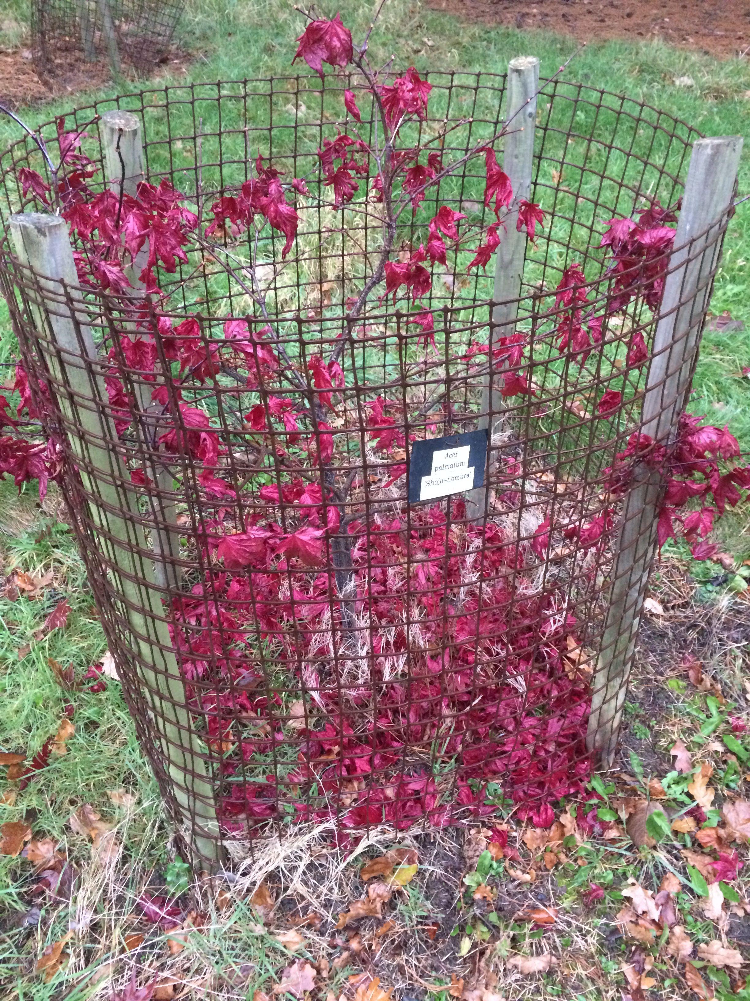 Acer Palmatum Shojo Nomura Westonbirt Arboretum Garden Acer