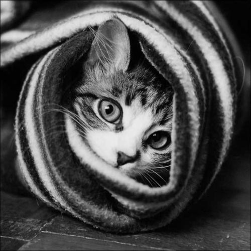 Image result for black and white photo of kittens wrapped  in blankets