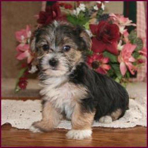 Yorktese Malkie Or Morkie An Adorable Combination Of Yorkies And Maltese Yorkie Morkie Morkie Puppies