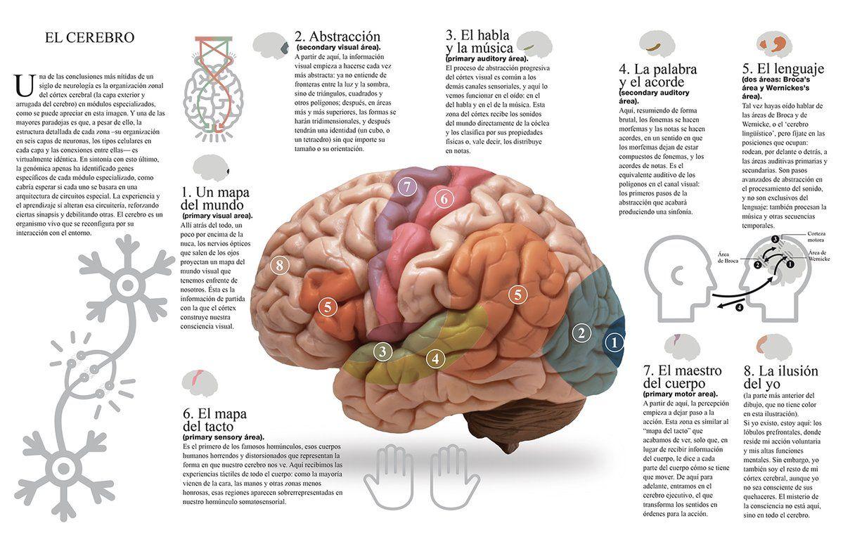 Resultado De Imagen Para Areas De Brodmann Brain Pinterest Brain