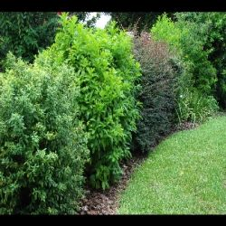 Fast Growing Hedges Privacy Hedges Rose Hedges Shrubs For Hedges Privacy Landscaping Landscaping Shrubs Outdoor Gardens
