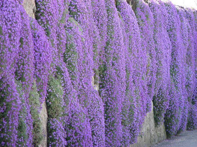 Wall Of Quot Campanula Muralis Quot In The Village Of Duillier