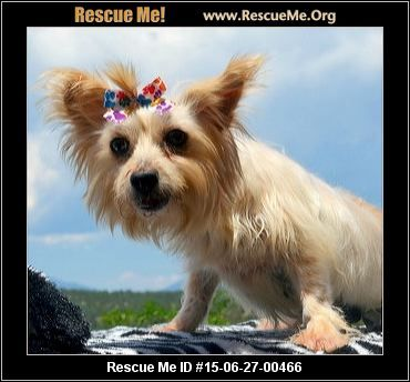My Name Is Evelin And I Am Beautiful Morkie Girl Who Is 7 Years