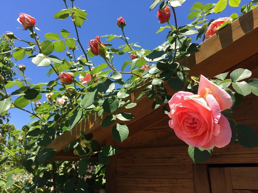 *** .. バラも元気�� .. . #花 #バラ #薔薇 #ローズ #つるバラ #バラ園 #ピンク #春 #5月 #igで繋がる花 #igで繋がる薔薇 #igで繋がる素敵な出逢い #このおなじ空のもと僕らはつながっている  #flower #Rose #Climbing #RoseGarden #pink #japan #love #spring #flower_pic #flowerslovers #ig_flowers #loves_garden #loves_garden #flower_special_ http://gelinshop.com/ipost/1518637613010810013/?code=BUTSNzqDnSd