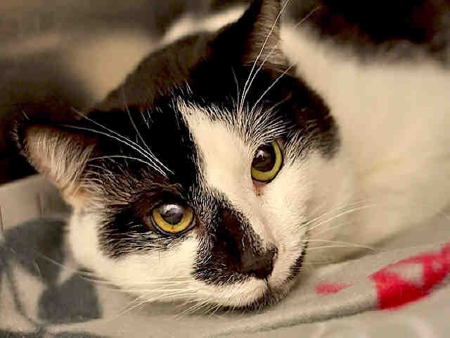 Pin By Laura Bosworth On Adoptable Tuxedo Kitties Animals Kittens Animal Shelter