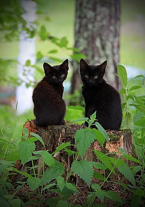 Adorable Black Kittens Cats Beautiful Cats Kittens