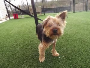 butterfinger is an adoptable Yorkshire Terrier Yorkie Dog in McDonough, GA. Butterfinger  is a playful little guy with lots of personality,he was left at the vet after he was attacked by a couple of b...