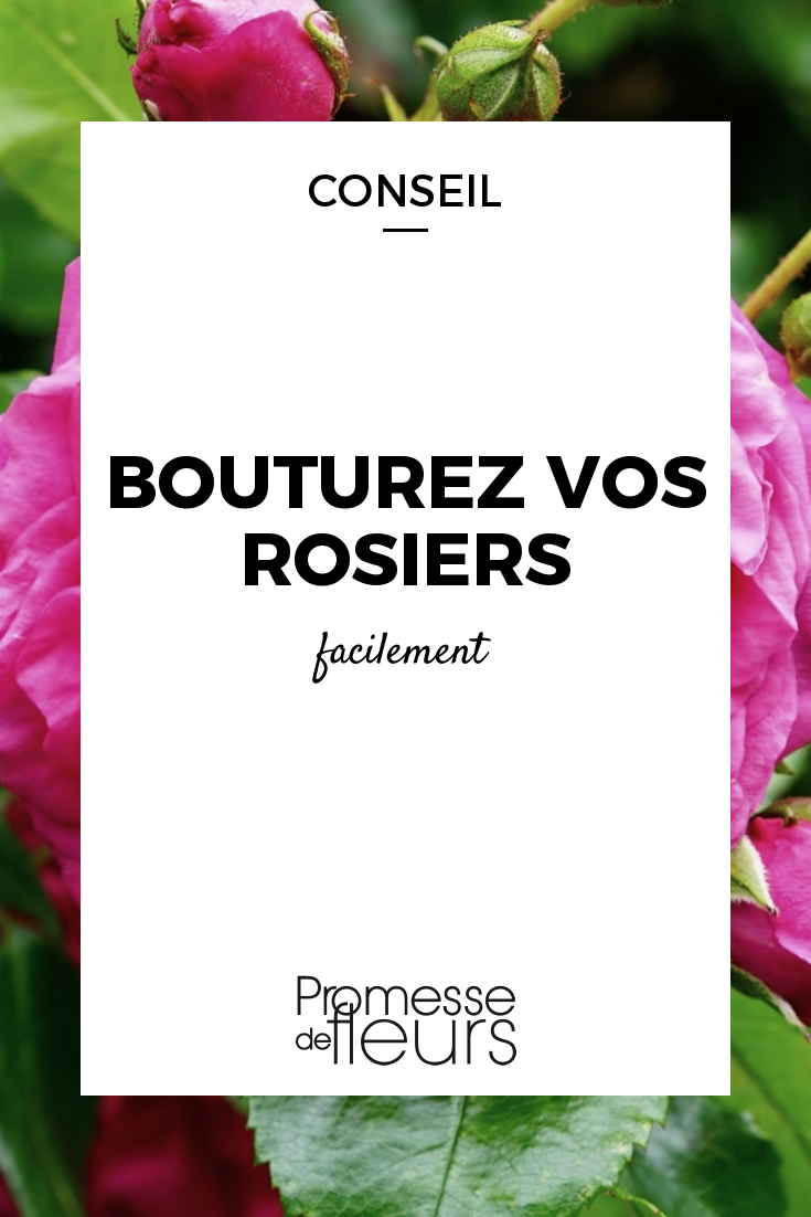 Quand Et Comment Tailler Un Rosier bouturer les rosiers : quand et comment ? | rosier, bouture