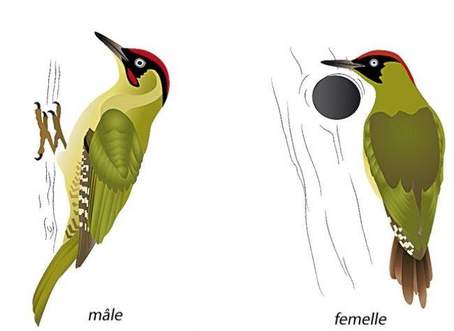 Oiseaux D Hiver Le Pic Vert Oiseaux Dessin Oiseau Animaux Et Oiseaux