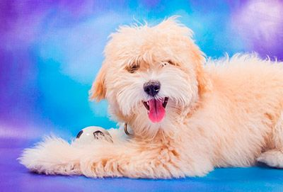 Maltipoo Puppies For Sale In Nebraska Maltipoo Puppies For