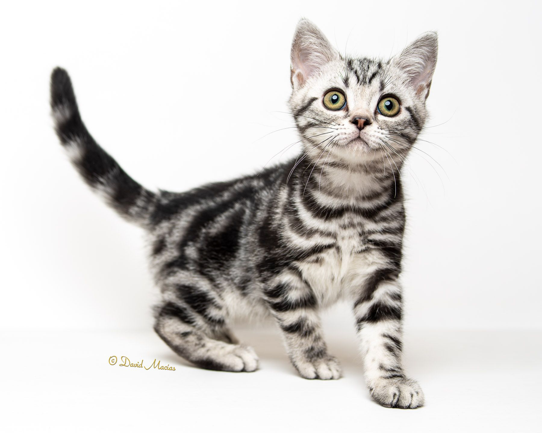 Milla S Kats Jessie One Of Our Gorgeous Babies From A Recent Litter Millaskats Davidmac In 2020 American Shorthair Kitten American Shorthair Cat American Shorthair