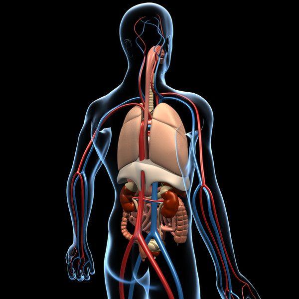 human anatomy 3d model - Human Anatomy... by MotionCow   i heart ...