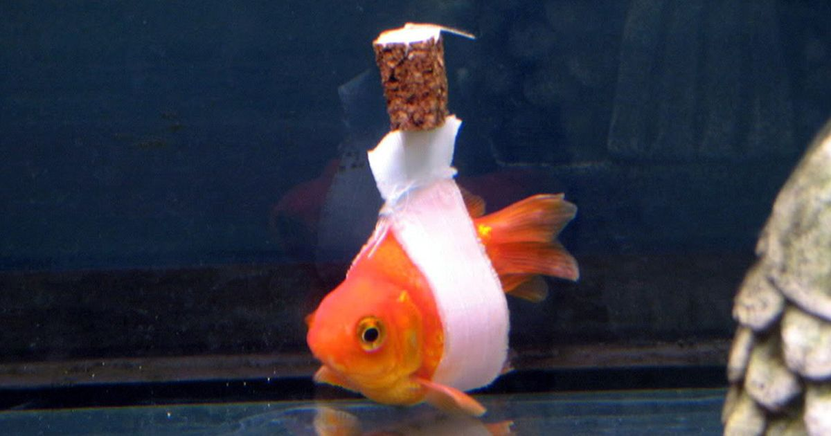 Goldfish Owner Makes A Cork Wheelchair To Help His Sick Fish