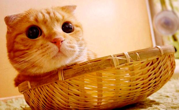 Muta Is A Cartoonish Scottish Fold Who Ll Kill You With Cute キュートな猫 子猫 かわいい猫