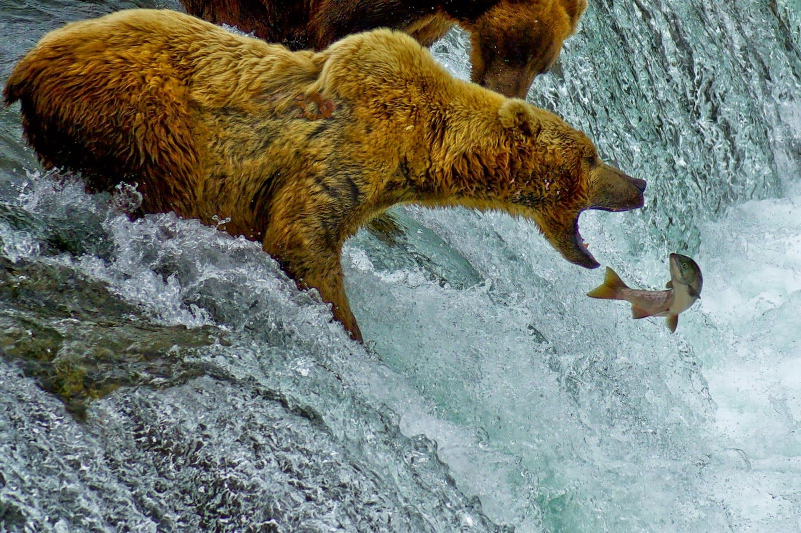 Grizzly bear catching fish grizzly salmon pinterest for Bear catching fish