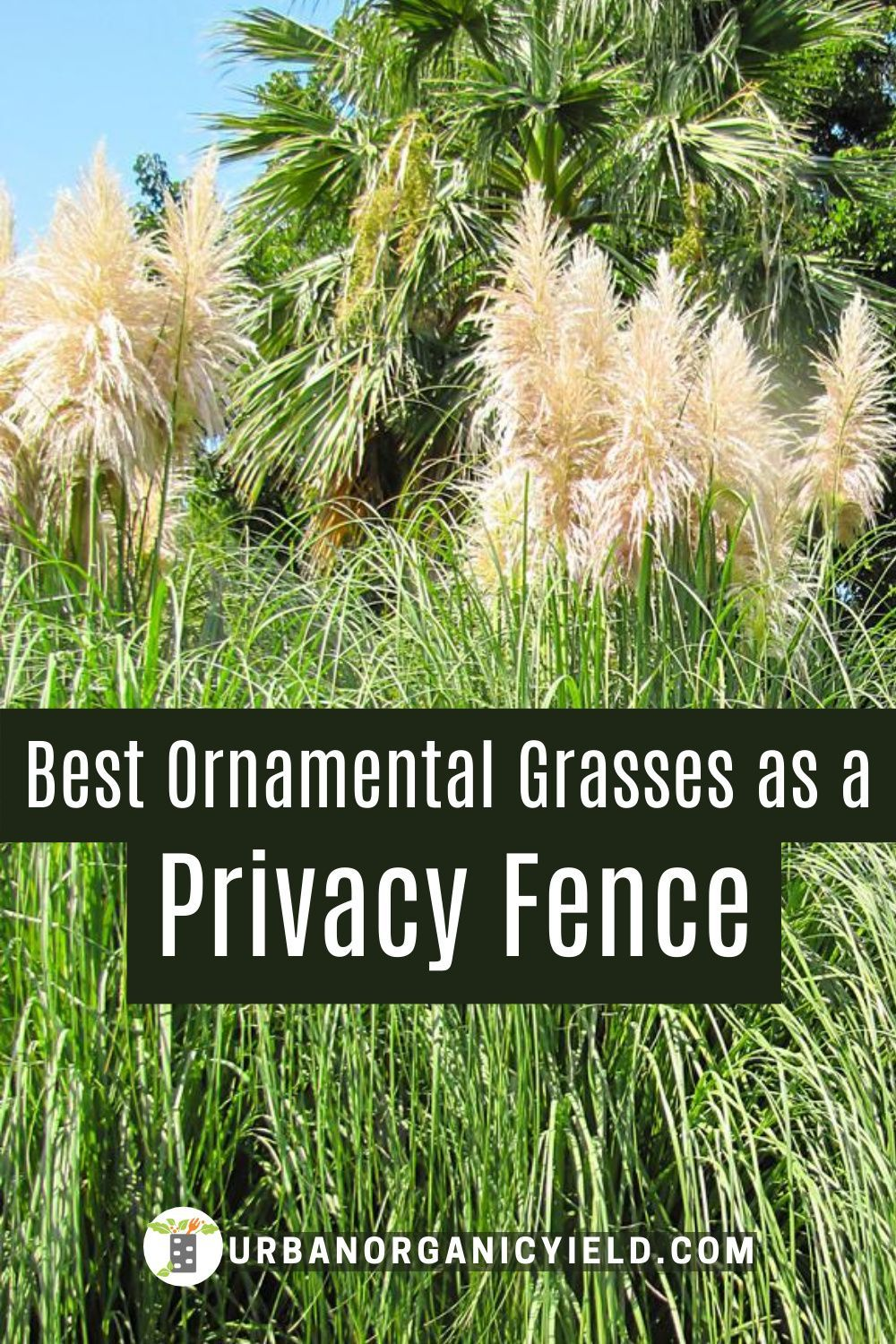 Best Tall Ornamental Grass For Privacy Tall Ornamental Grasses Ornamental Grasses Tall Grass Landscaping