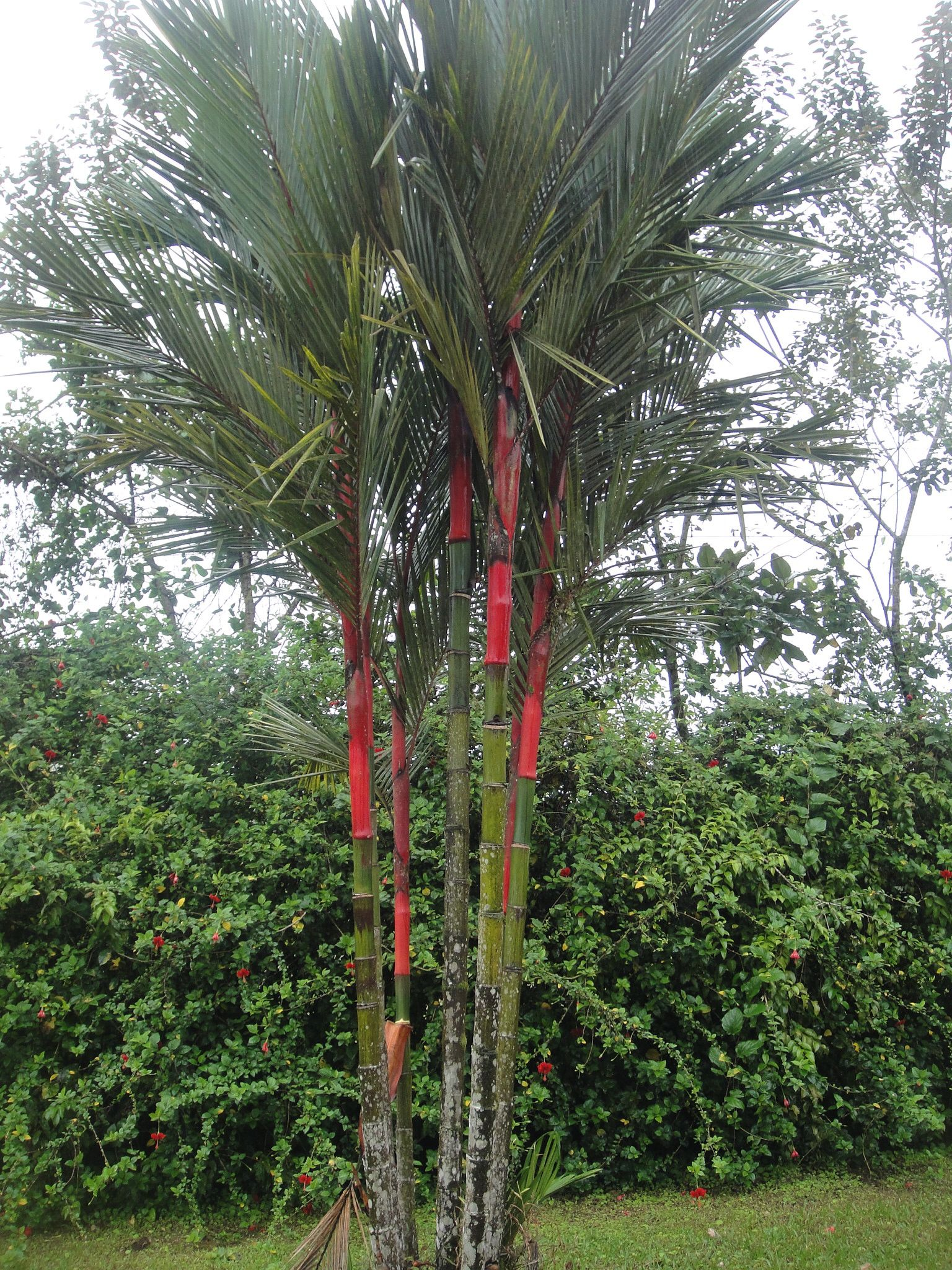 Red Sealing Wax Palm (Cyrtostachys Renda), Cabinas Miradas Arenal, Costa Rica