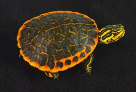 Tortoises And Turtles For Sale From The Turtle Source Buy Premium Turtles And Tortoises Tortoise And Turtle Breeder Turtles For Sale Turtle Tortoises
