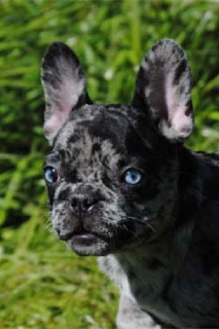 Akc Merle French Bulldog Merle French Bulldog French Bulldog Puppies Bulldog Puppies