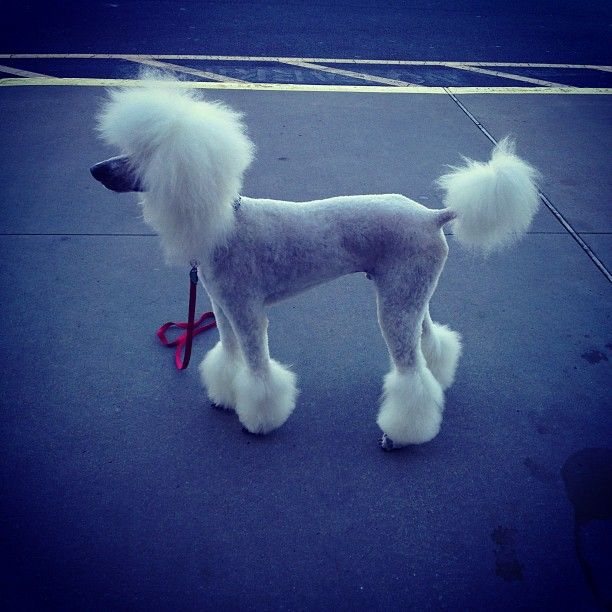 Pin On Poodle Cuts Clips Styles