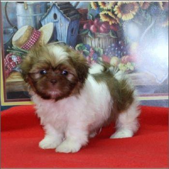 Teacup Shih Tzu Puppies Shih Tzu Shih Tzu Puppy Teacup Cats