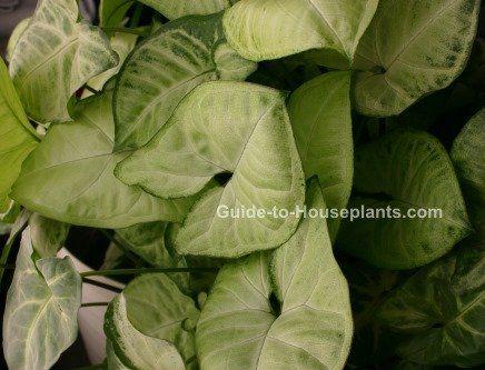 arrowhead plant syngonium podophyllum indoor house plants house plants - House Plant Identification By Leaf