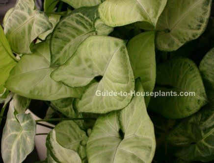 Arrowhead Plant, Syngonium Podophyllum, Indoor House Plants, House Plants