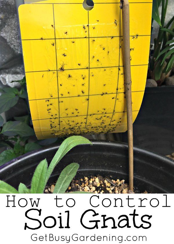 How To Get Rid Of Fungus Gnats In Houseplants Soil Get Busy