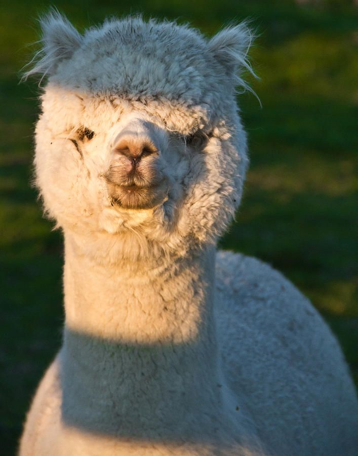 Adorable White Alpaca Portrait Cute Alpaca Pet Portraits Cute