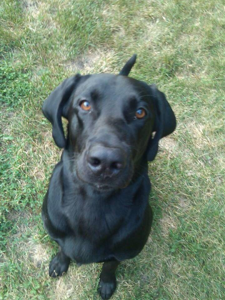 Rochester Mn Lostdog 10 22 13 Black Lab Male Labradorretriever 2 Years Old 100 Lbs 651 335 4651 Https Www Facebook Com Ldomn Posts 10151 Labrador Schwarz