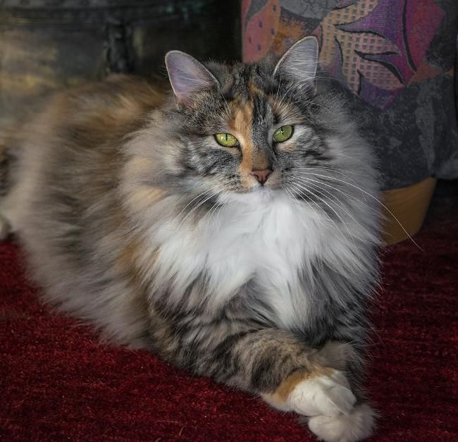 Pet Sitter Needed For Two Norwegian Forest Cats House Sitter