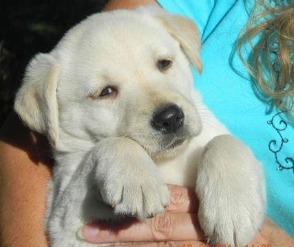 Litter Of 7 Labrador Retriever Puppies For Sale In Aberdeen