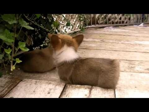 Corgi puppies @Tracy Chou @Leslie Kincaid